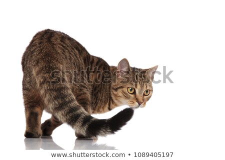 side view of cute metis cat looking behind while standing Stock photo © feedough