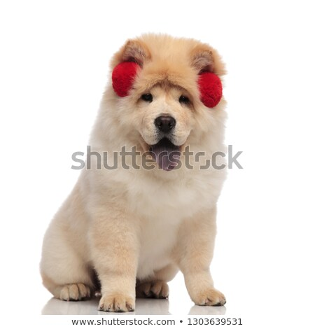 yellow chow chow wearing red earmuffs panting and sitting Stock photo © feedough