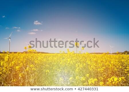 Szélturbinák virágzó nemi erőszak természet farm olaj Stock fotó © elxeneize