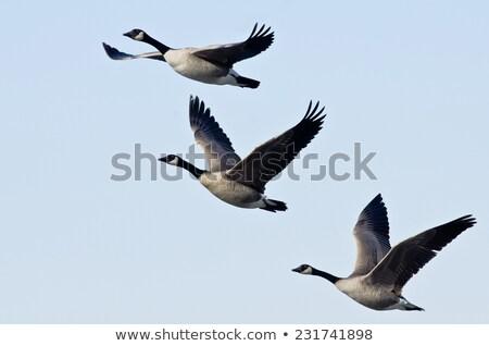 Canada · ganzen · vlucht · natuur · schoonheid - stockfoto © brianguest