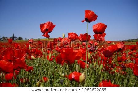 alan · gelincikler · güneş · mavi · gökyüzü · çiçek · gün · batımı - stok fotoğraf © h2o