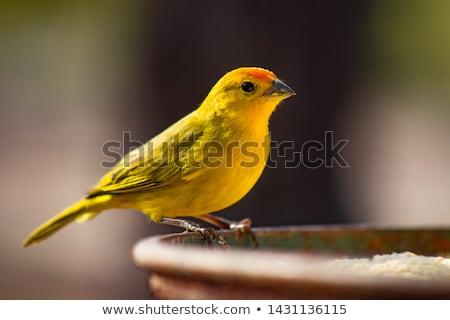 カナリア 鳥 ショット 男性 ストックフォト © macropixel
