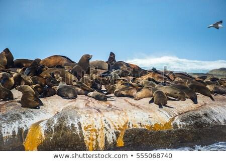 毛皮 · シール · 海岸 · 南 · 島 - ストックフォト © hofmeester