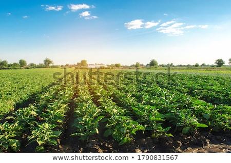 茄子 フィールド 食品 自然 背景 工場 ストックフォト © antonihalim