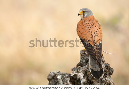 Common kestrel Stock photo © bokica