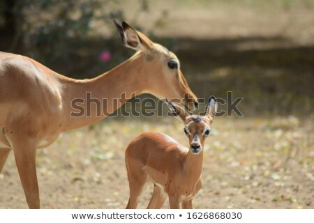 Impala antelope Stock photo © albertdw