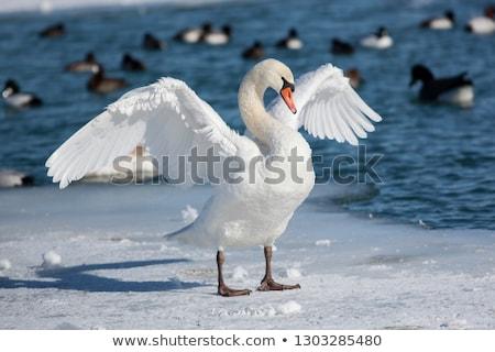 cisne · fantástico · digital · belo · névoa · pacífico - foto stock © elenarts