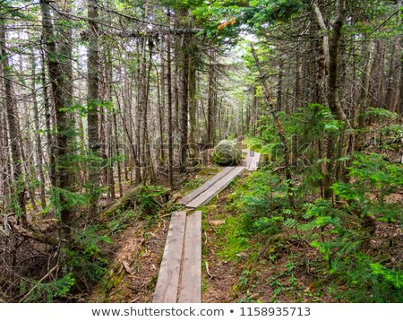 walkway of wooden planks through the forest stock photo © frameangel