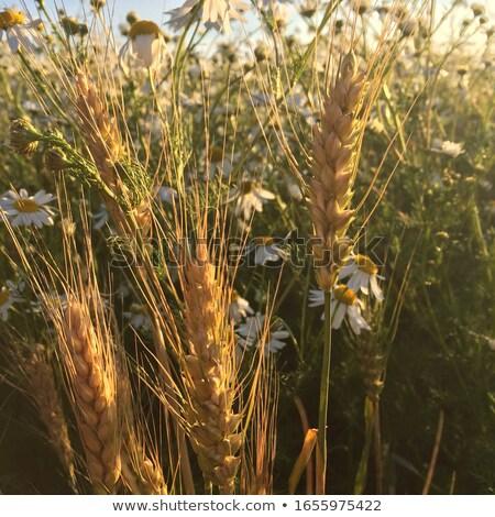 молодые · пшеницы · почвы · облачный · Blue · Sky - Сток-фото © lypnyk2