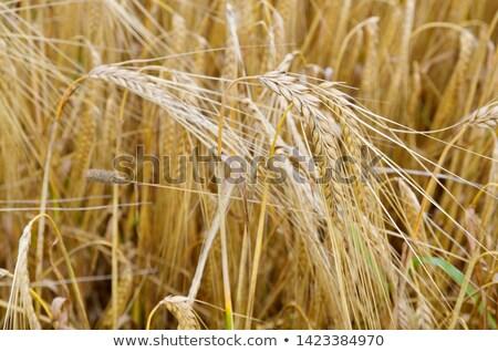 Rijp gerst voedsel veld oor landbouw Stockfoto © lightpoet