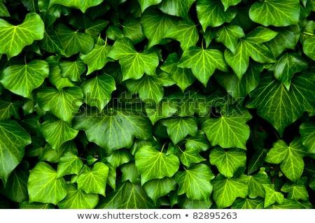 Veel klimop dekken muur textuur boom Stockfoto © pixachi