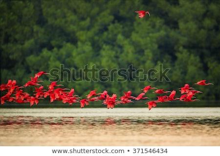 Scarlet Ibis (Eudocimus ruber) Stock photo © dirkr