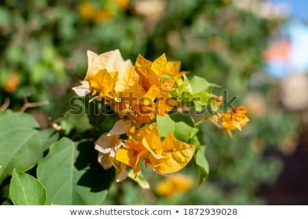 yellow bougainvillea, Sharm el Sheikh, Egypt. Stock photo © master1305