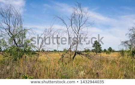 Száraz erdő nyár fa nap tájkép Stock fotó © slunicko