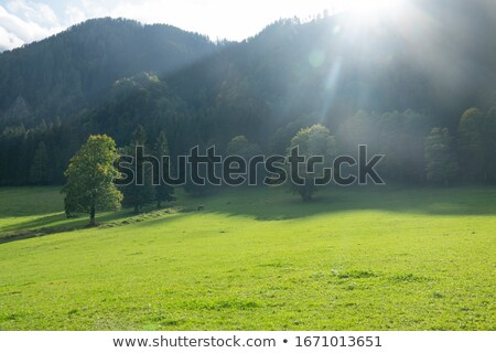 Sunny day in the cool shade of pine forests Stock photo © ironstealth