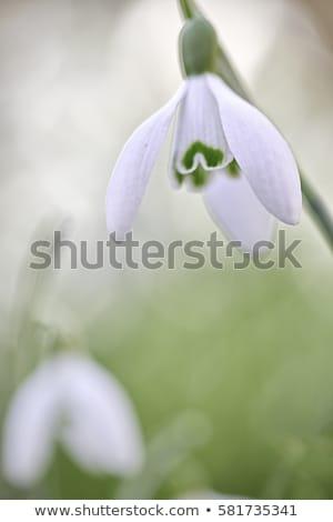 Flores flor folha neve jardim gelo Foto stock © mady70