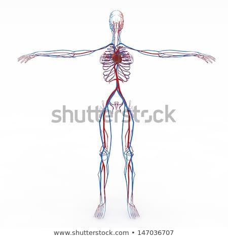 insan · dolaşım · örnek · kalp · kan · tıp - stok fotoğraf © bluering