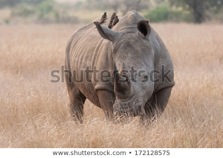 eating white rhino with an oxpecker in the kruger stock photo © simoneeman