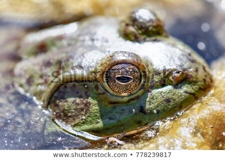 лягушка · ручей · макроса · выстрел · сидят · весны - Сток-фото © yhelfman