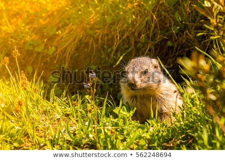 young marmot on alpine meadow Stock photo © Antonio-S