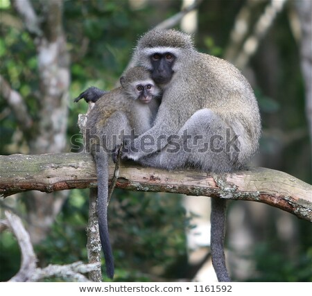 mother vervet monkey with a baby stock photo © simoneeman
