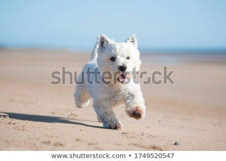 oeste · blanco · terrier · cachorro · bebé · perro - foto stock © cynoclub
