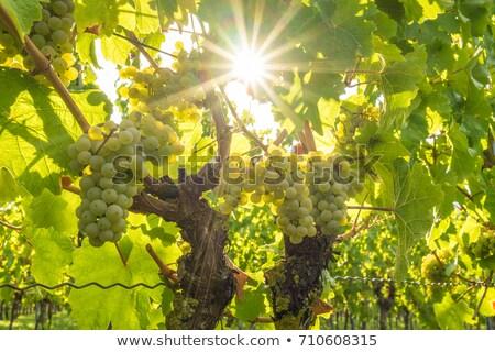 White wine grapes in vineyard on a sunny day Stock photo © Yatsenko