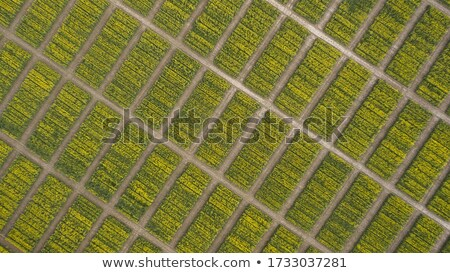 field with blooming canola in spring aerial photo stock photo © vlad_star