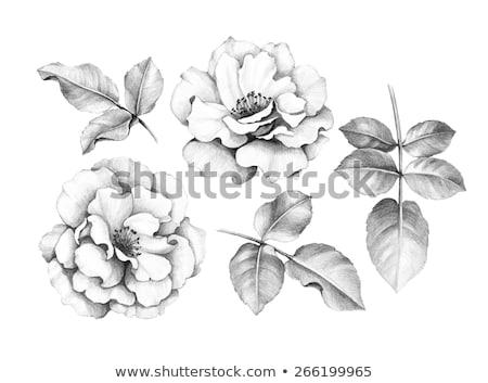 画像 バラ スケッチ 自然 花 手描き ストックフォト © frescomovie