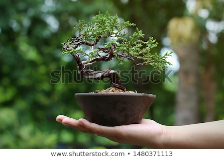 juniper bonsai stock photo © antonio-s