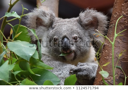 Koala looking at the camera stock photo © artistrobd