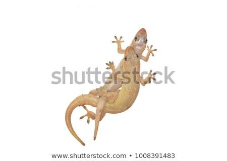 Two lizards Stock photo © blackmoon979