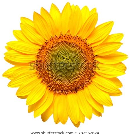 Foto d'archivio: Girasole · isolato · bianco · top · view · fiore