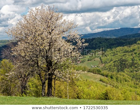 cherry blossoms against the backdrop of rural landscape stock photo © g215
