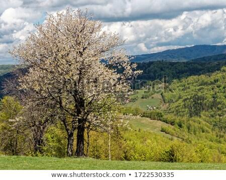 Stock fotó: Cseresznyevirágzás · háttér · vidéki · táj · tavasz · fű · épület