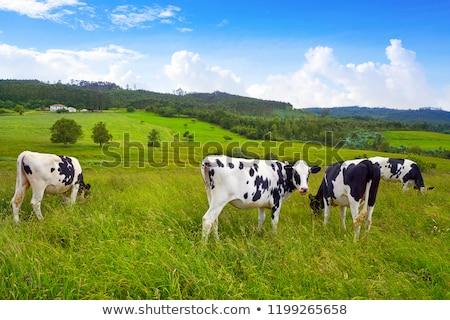 Friesian cows in Asturias meadow Spain Stock photo © lunamarina