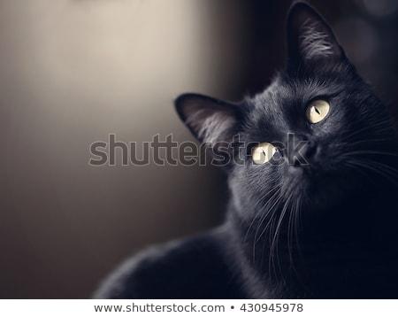 Fekete macska közelkép aranyos torkolat arc macska Stock fotó © vlad_star