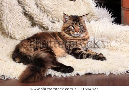szilárd · fekete · Maine · macska · fehér · aranyos - stock fotó © catchyimages