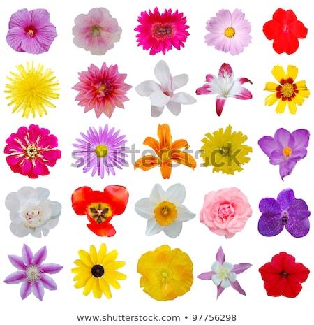 Szett kikerics tavaszi virágok feketefehér vektor rajz Stock fotó © Margolana