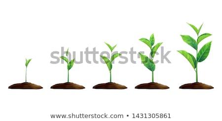 Jovem de natureza hortelã erva folhas Foto stock © romvo