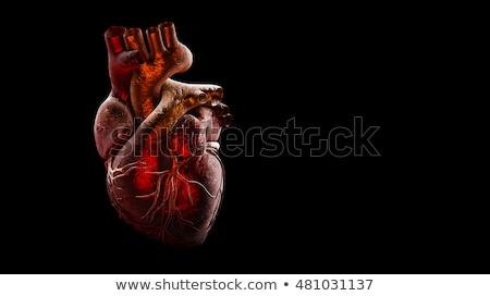 Menselijke hart anatomie gezonde lichaam geïsoleerd Stockfoto © Lightsource