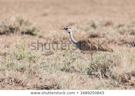 Afryki ptaków Etiopia parku sawanna Afryki Zdjęcia stock © artush