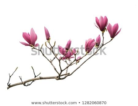 Magnolia kwiaty różowy srebrny odizolowany biały Zdjęcia stock © neirfy