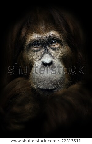 Close up portrait of a Orangutan Stock photo © photoblueice
