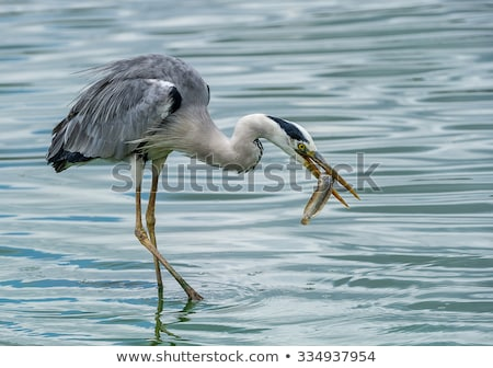 Great Blue Heron Catch Stock photo © ca2hill