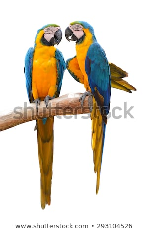 Couple of Parrot Stock photo © vectomart