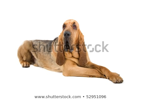 bloodhound ,also known as St. Hubert hound and Sleuth Hound  Stock photo © eriklam