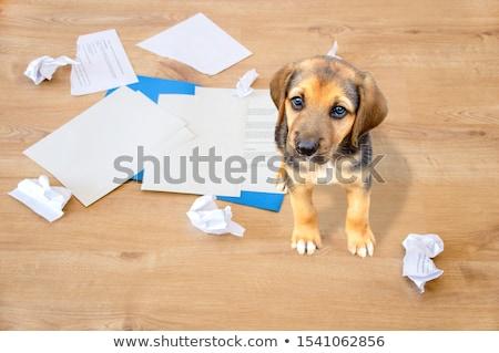 schuldig · naar · hond · puppy · Engels · bulldog - stockfoto © willeecole