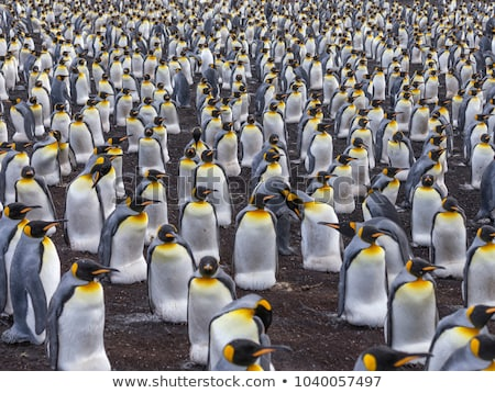 Vrijwilliger punt koning pinguin kolonie falkland eilanden Stockfoto © kwest