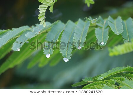 water droplets on green acacia leaves after the rain stock photo © justinb